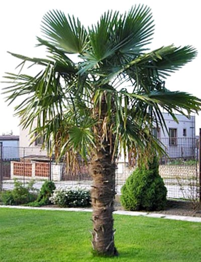 chinese-windmill-palm-trachycarpus-fortunei