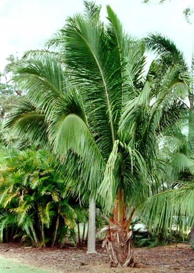 elegant-palm-cabbage-palm-bungalow-palm-archontophoenix-cunninghamiana-seaforthia-palm