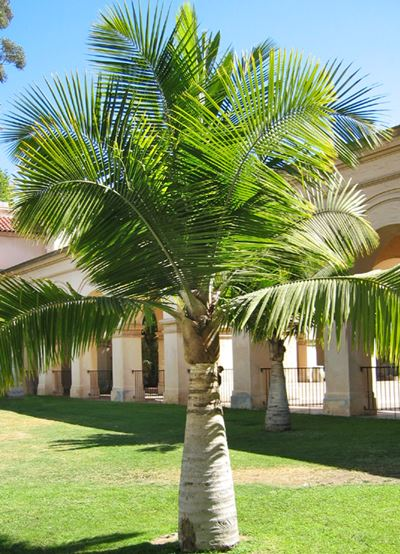 majesty-shaving-majesteit-palm-ravenea-rivularis