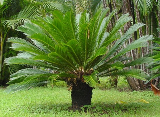 trees palm trees for sale trees for sale palm trees for sale petronella pyramid. Black Bedroom Furniture Sets. Home Design Ideas