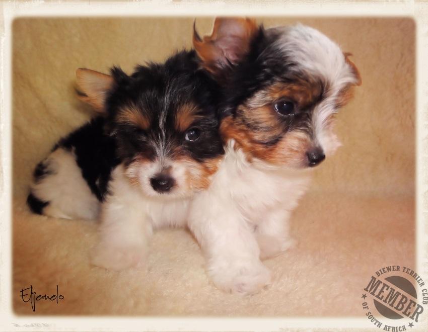 Biewer Terrier Breeders Biewer a la pom pon Biewer puppies for sale